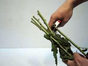 4. Kürzen Sie die Rosen und die Santinis grob auf diese Länge