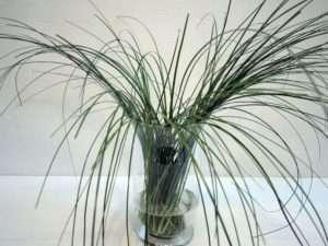 8. Lassen Sie das Bärgras einfach Fallen und helfen sie der Verteilung noch ein wenig von Hand nach. Die Gräser sollten locker in alle Richtungen in der Vase stehen