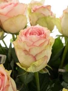 rosen online kaufen best gras pflanzen u rosen online. Black Bedroom Furniture Sets. Home Design Ideas