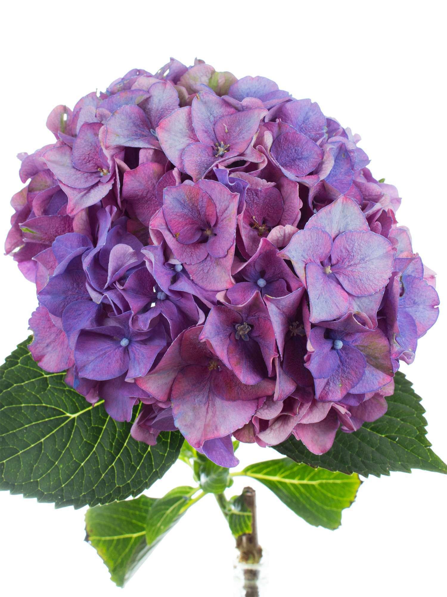hortensie rodeo lila bestellen blumigo. Black Bedroom Furniture Sets. Home Design Ideas