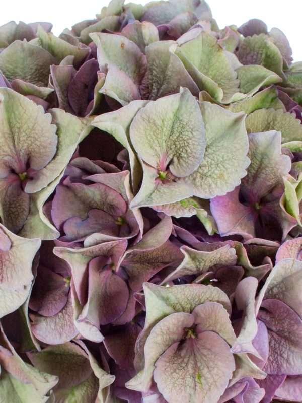 Hortensie Magical Rodeo Paars lila grün grau