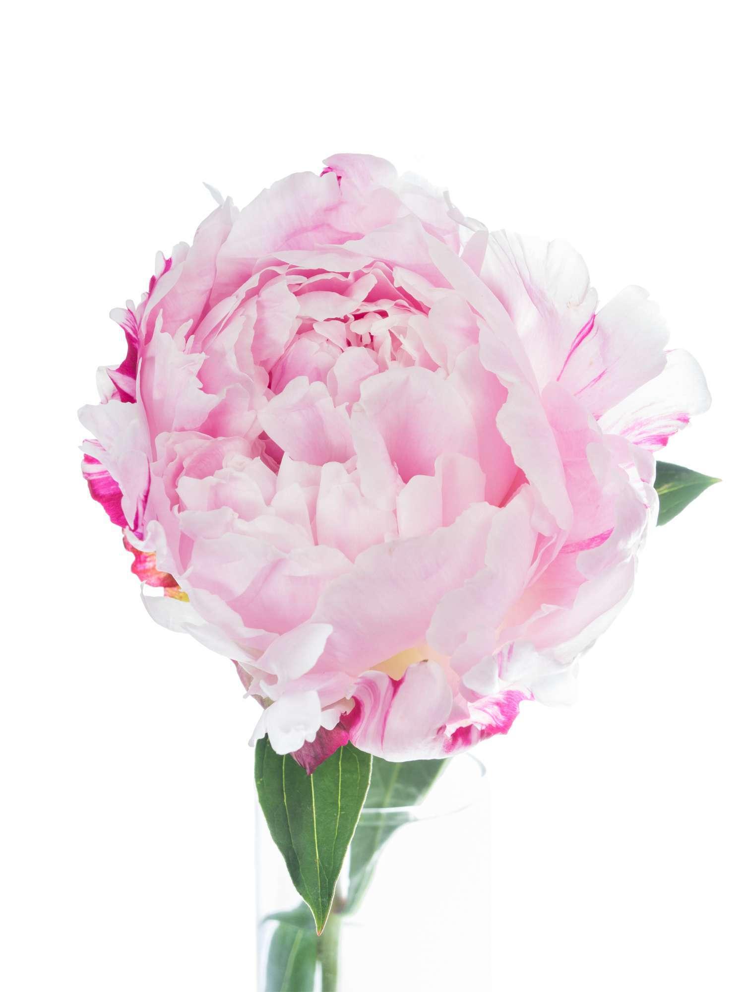 Pfingstrose Sarah Bernhardt : pfingstrosen sarah bernhardt rosa bestellen blumigo ~ A.2002-acura-tl-radio.info Haus und Dekorationen
