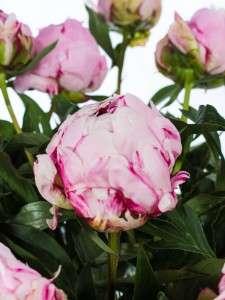 Pfingstrosen Sarah Bernhardt rosa