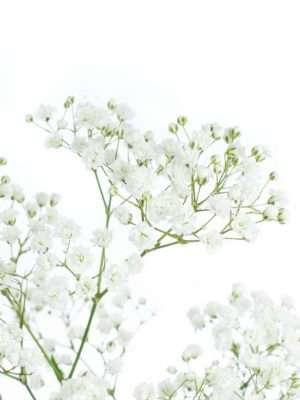 Schleierkraut mit luftig leichten weißen Blüten