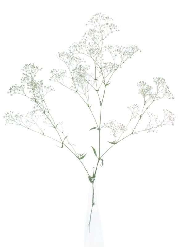 Weißes Schleierkraut in einer durchsichtigen Vase