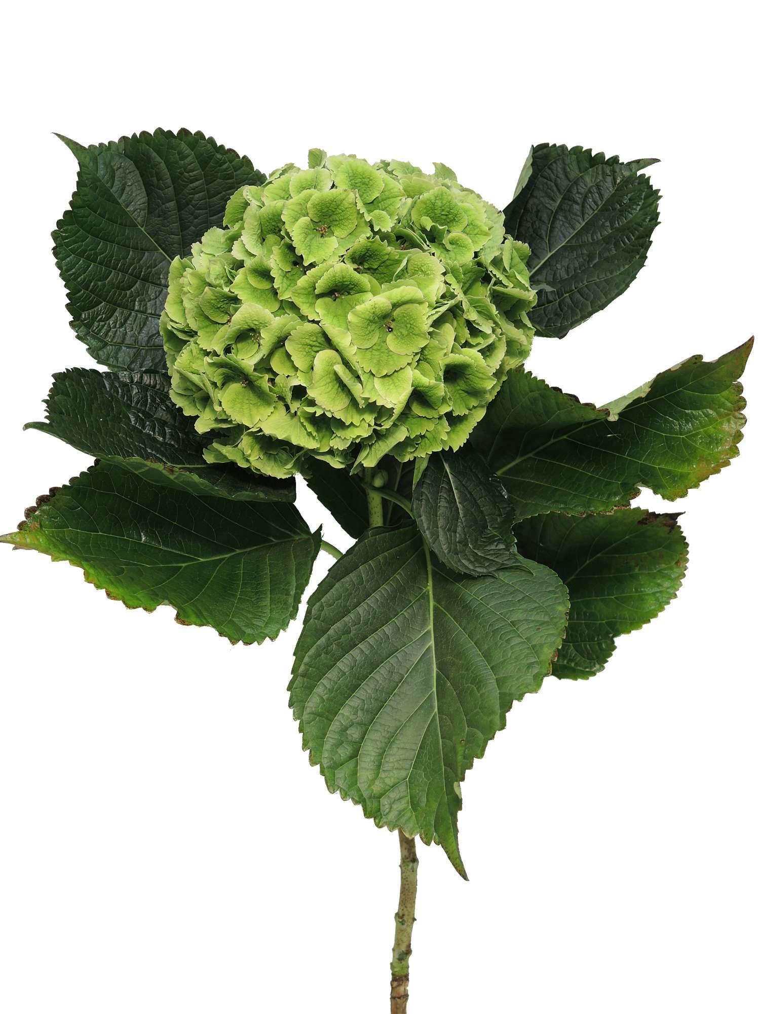 hortensie emerald green classic gr n bestellen blumigo. Black Bedroom Furniture Sets. Home Design Ideas