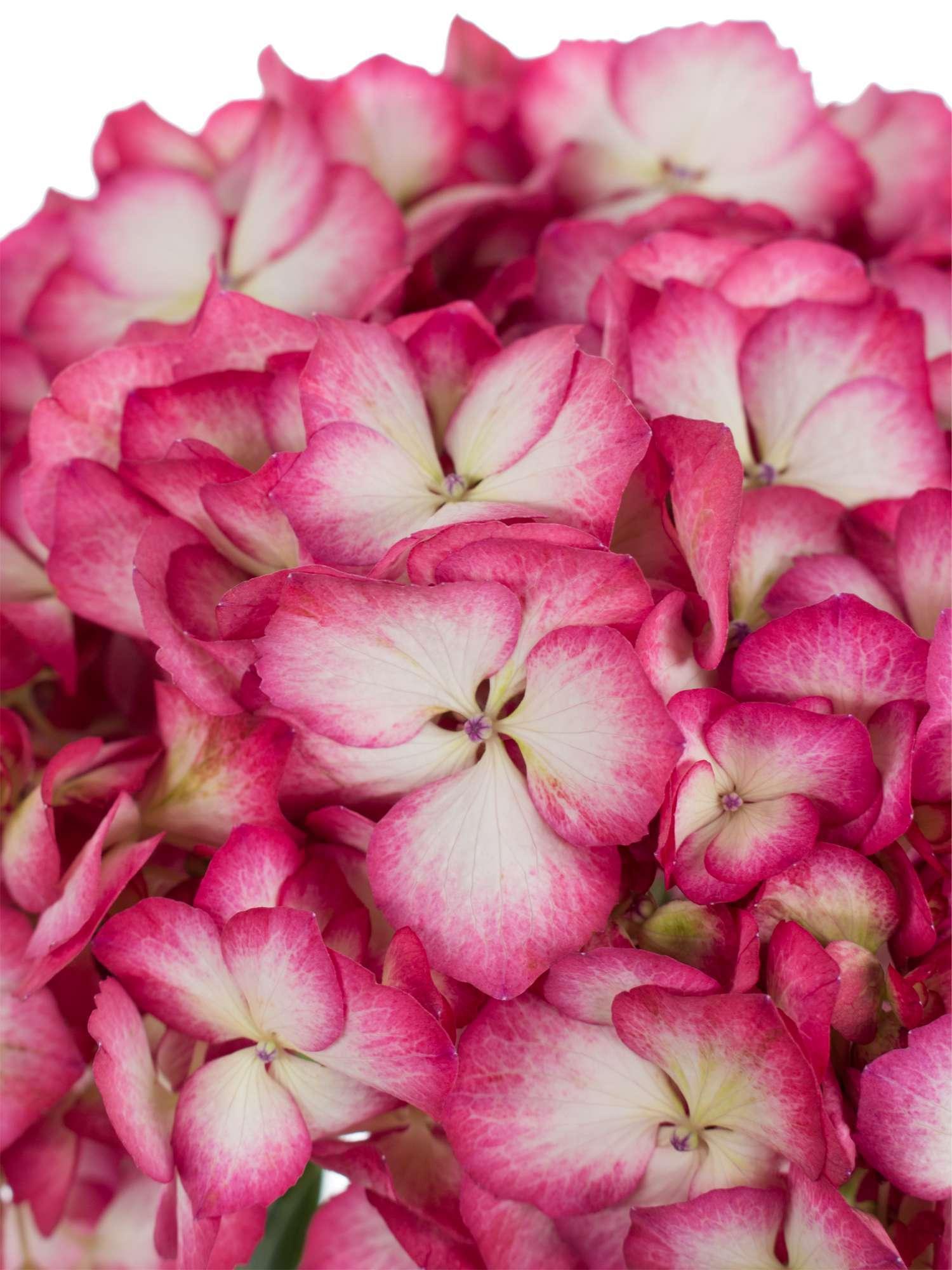 hortensie magical hovaria ripple wei pink bestellen blumigo. Black Bedroom Furniture Sets. Home Design Ideas