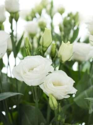 Lisianthus Rosita White weiss