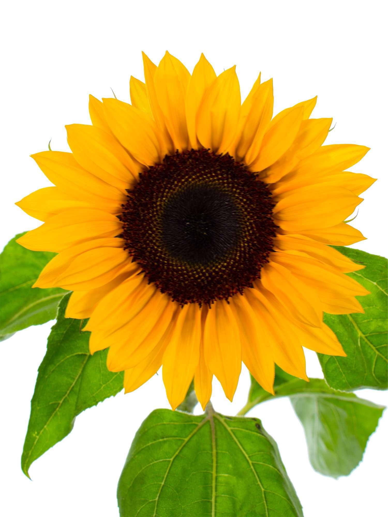 Gewöhnliche Sonnenblume – Pflanzen, pflegen, Tipps: Informationen ...