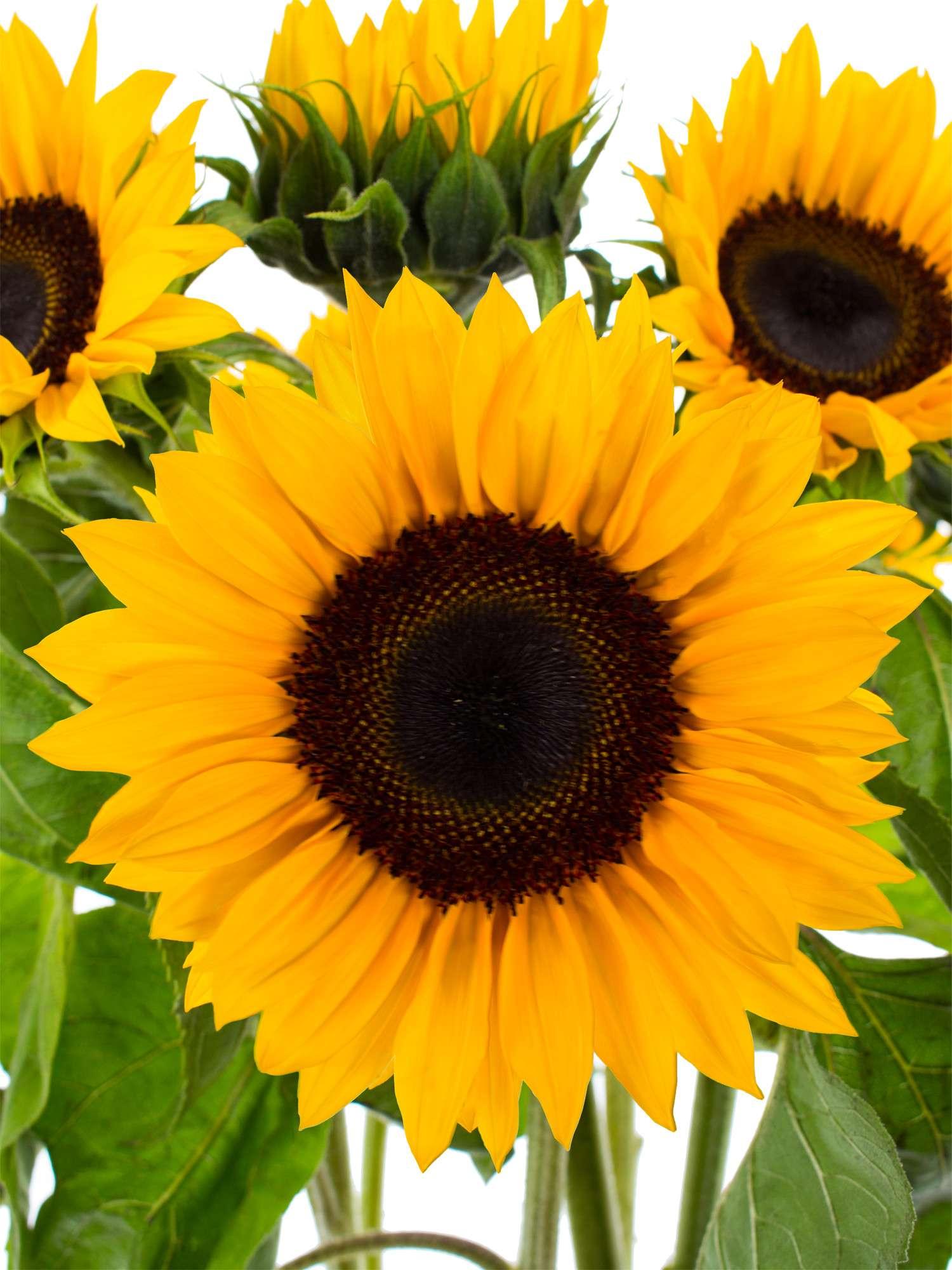 Sonnenblumen Sunrich Orange Bestellen Blumigo