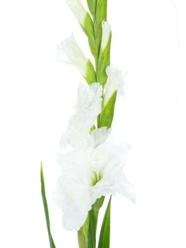 Gladiolen Essential weiss