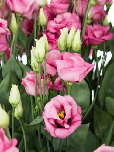 Lisianthus Rosita rose alt rose
