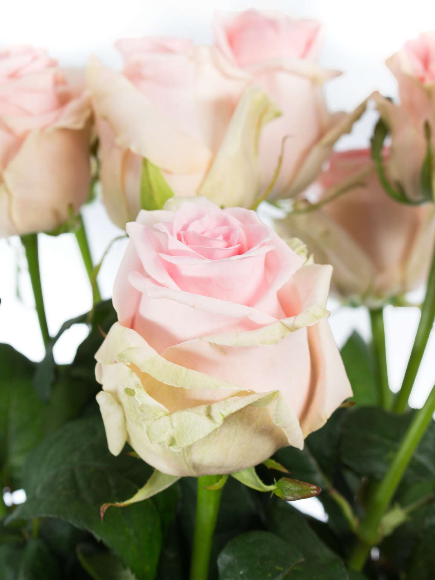 rosen sweet dolomiti rosa bestellen blumigo. Black Bedroom Furniture Sets. Home Design Ideas