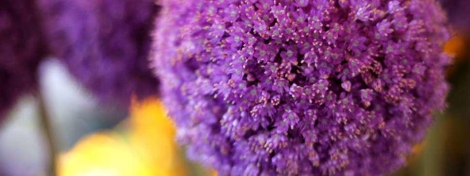 Allium lila