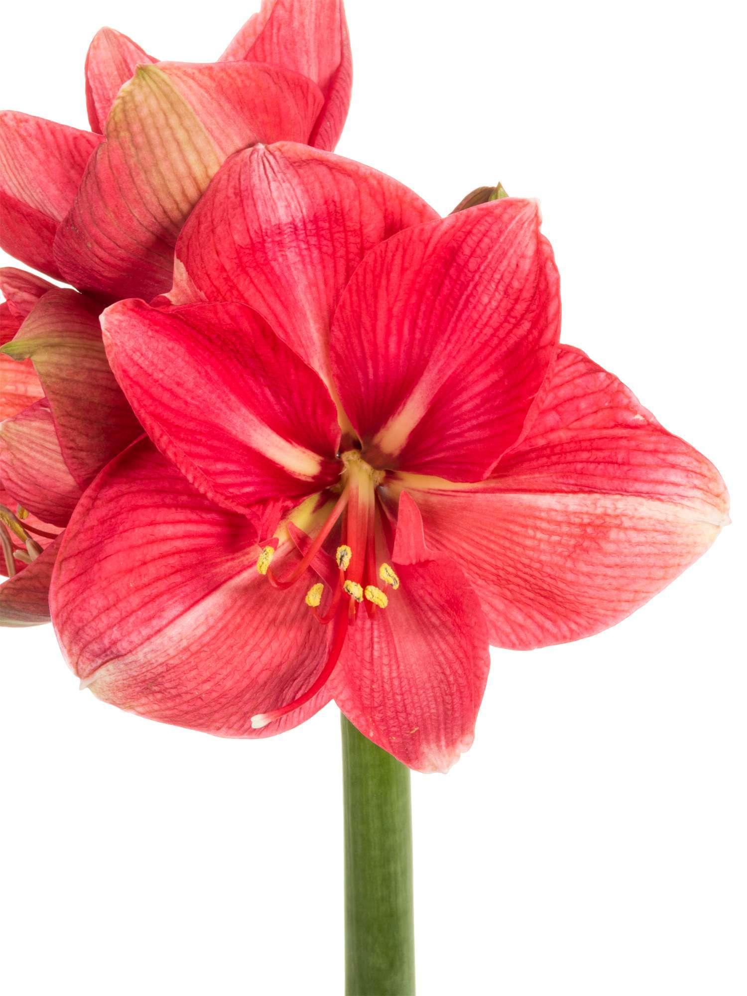 amaryllis hercules pink bestellen blumigo. Black Bedroom Furniture Sets. Home Design Ideas