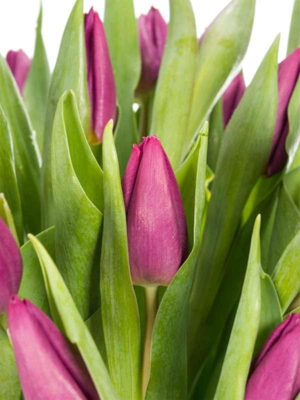Violette Tulpen Purple Prince