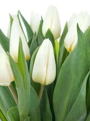 Tulpe White Prince in Weiß