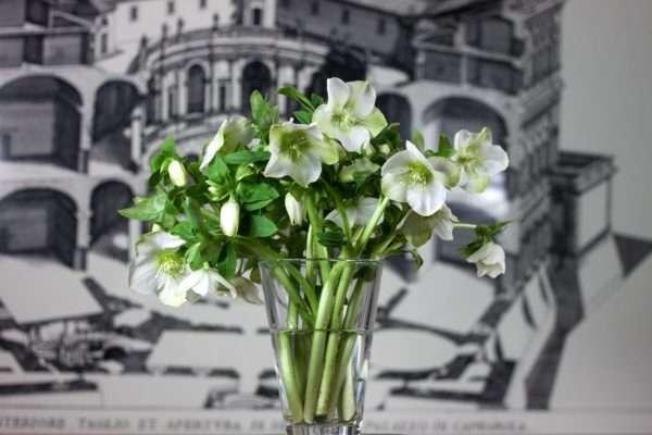 Weißer Christrosenstrauß_Blumenstrauß_Schnittblumen_Christrosen in Vase_Blumigo