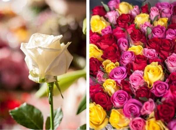 Avalanche Rose und bunt gemischte Rosen