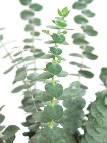 Eukalyptus Baby Blue grün