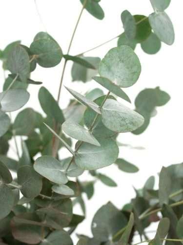 Eukalyptus Cinerea grün