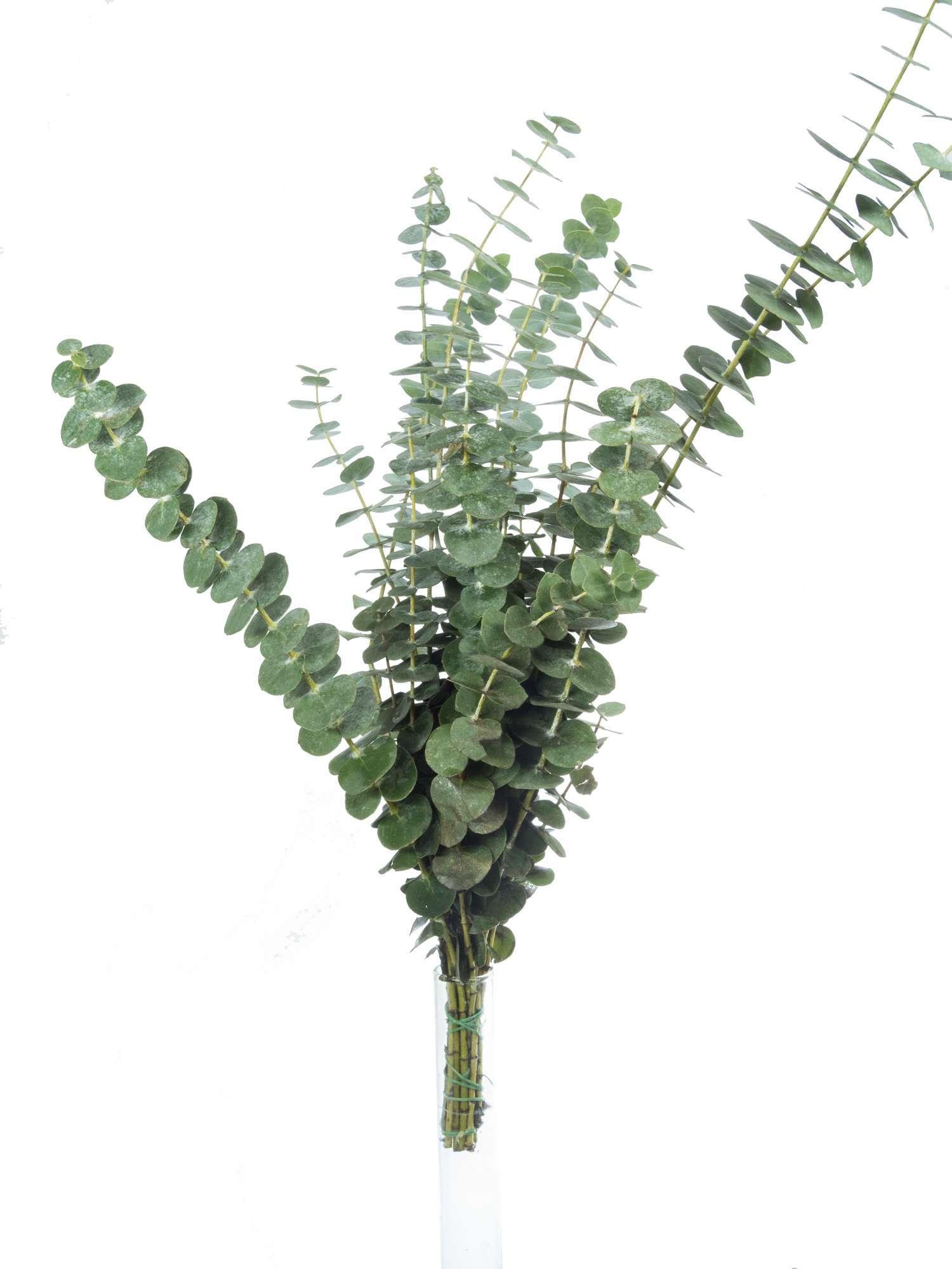 Eukalyptus Baby Blue Silber Grun Bestellen Blumigo