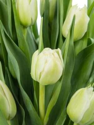 Tulpen gefüllt Northcap in Weiß