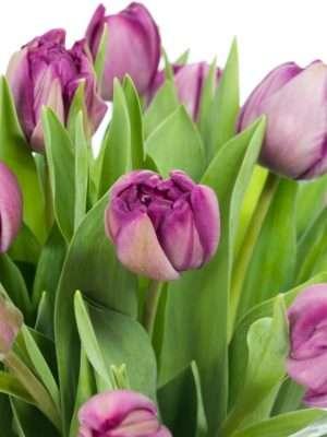 Tulpen Blue Diamond in Violett
