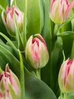 Welche Blumen Gibt Es Im März Schnittblumen Saison Kalender Blumigo
