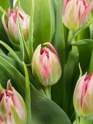 Tulpen gefüllt Flash Point