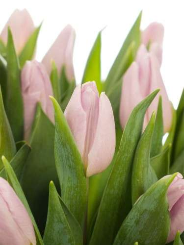 Tulpen Candy Prince in hellrosa