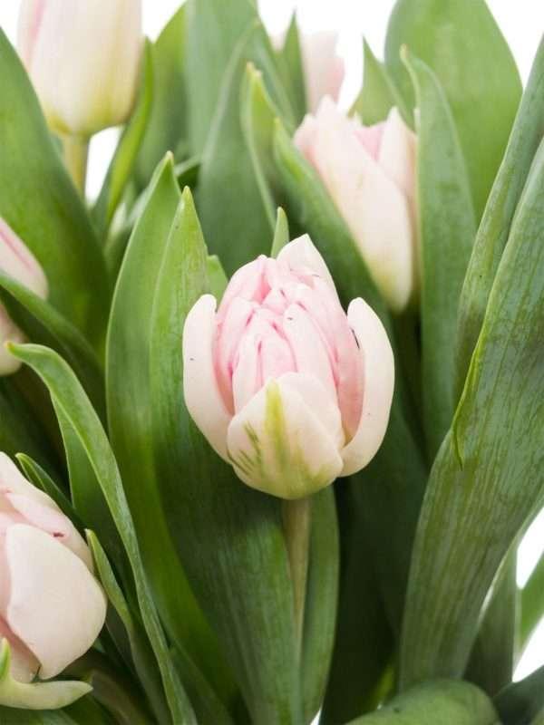 Tulpen Foxtrott in Weiß-Rosa