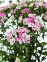Bartnelken rose