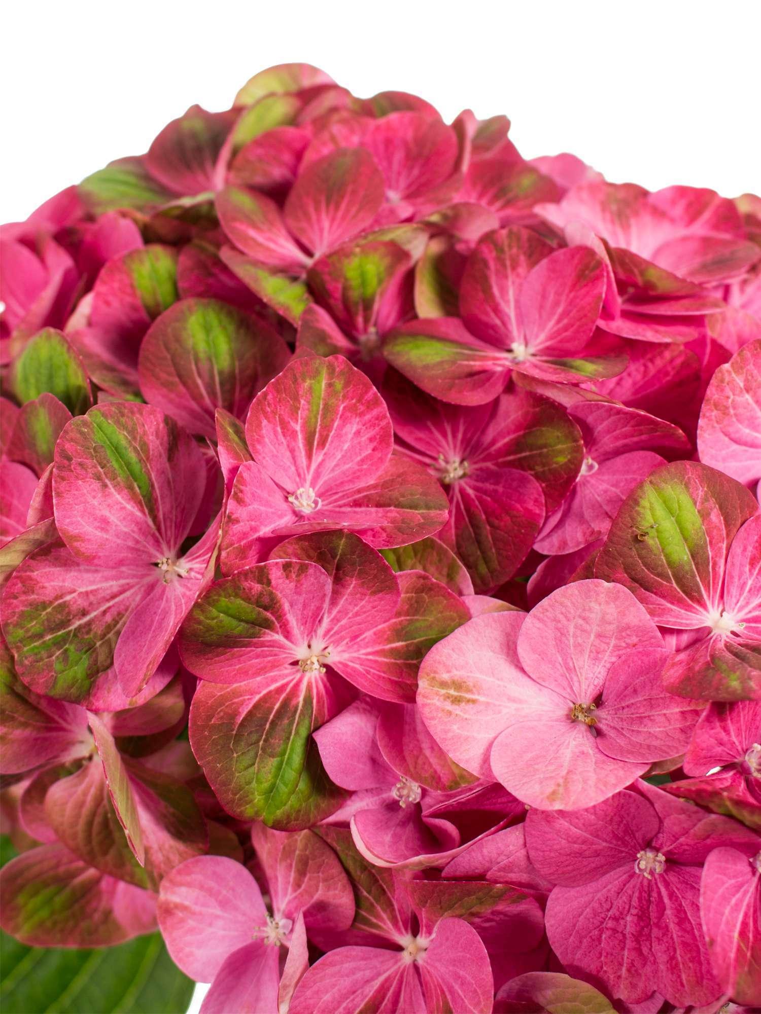 Hortensie Greenfire Pink Grun Bestellen Blumigo