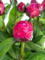 Welche Blumen Gibt Es Im Juni Schnittblumen Saison Kalender Blumigo