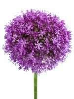 Allium Ambassador lila