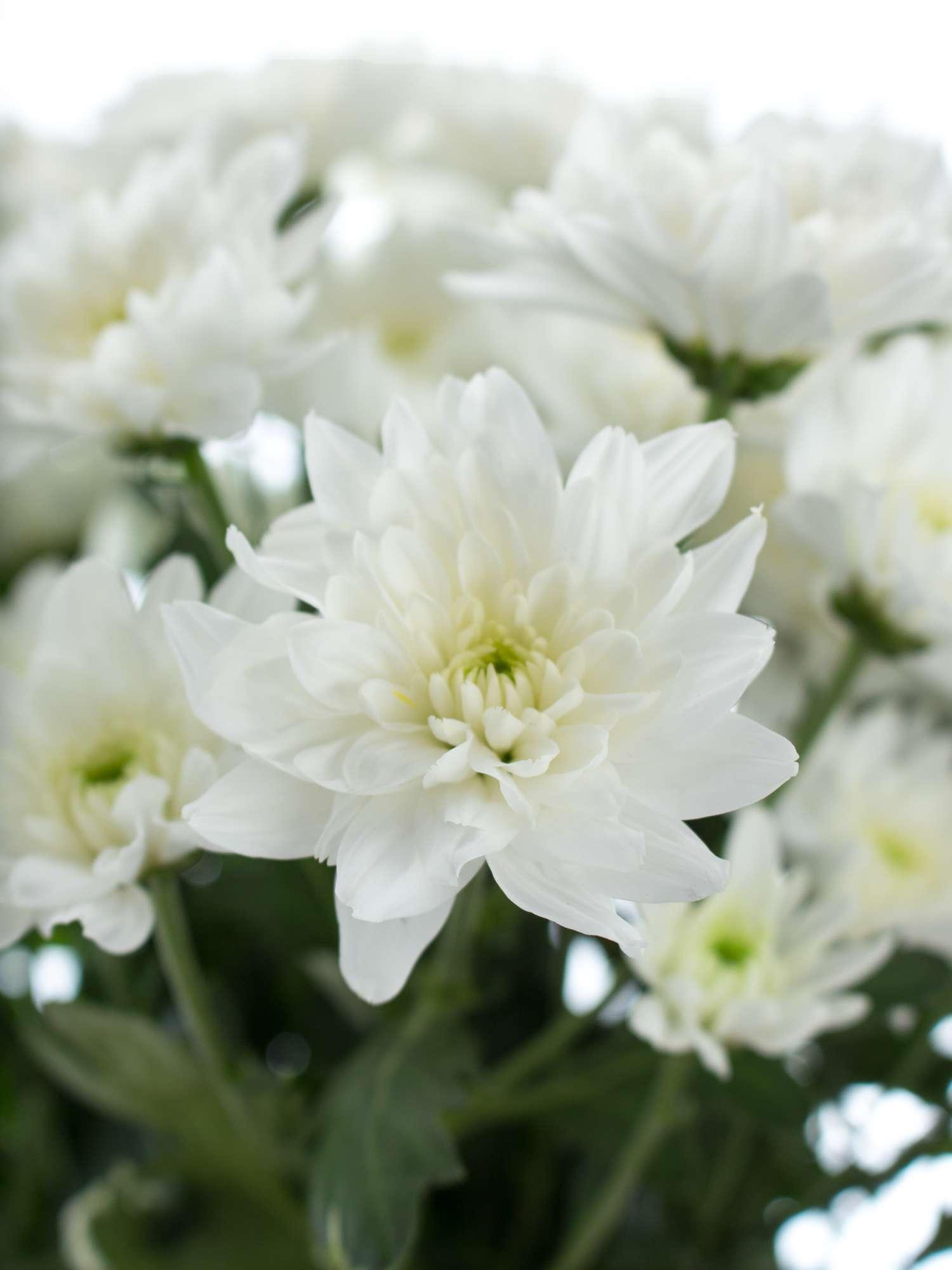 chrysanthemen verzweigt baltica wei bestellen blumigo. Black Bedroom Furniture Sets. Home Design Ideas