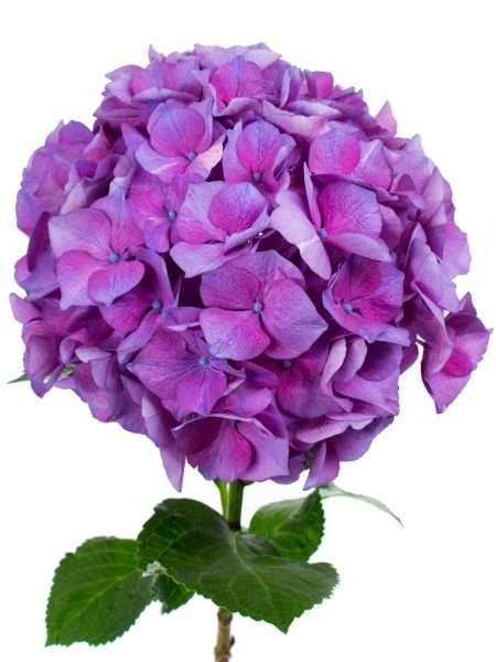 hortensie magical esmee paars lila bestellen blumigo. Black Bedroom Furniture Sets. Home Design Ideas