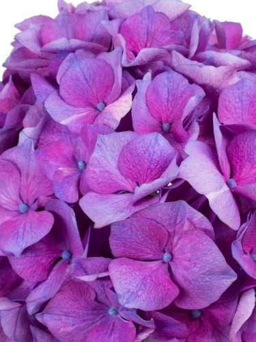 Hortensie Magical Esmee Paars lila