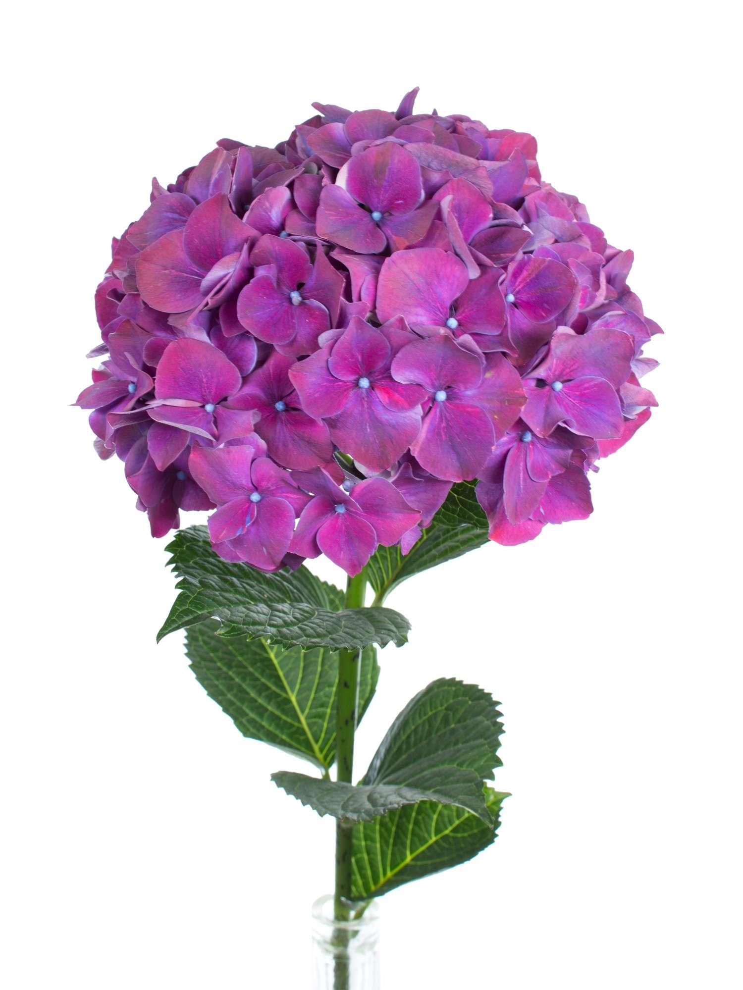 hortensie magical rubyred aubergine lila bestellen blumigo. Black Bedroom Furniture Sets. Home Design Ideas