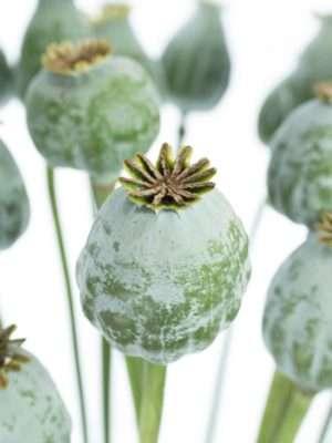 Mohnkapseln silber grün