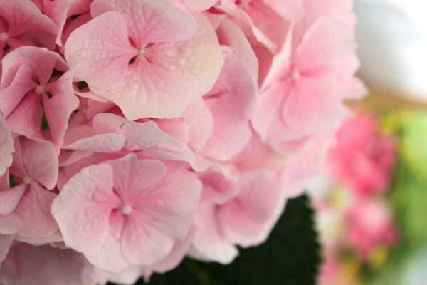 Rosa Hortensienblüte