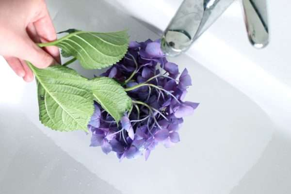 Schlappe Hortensien in Wasser baden