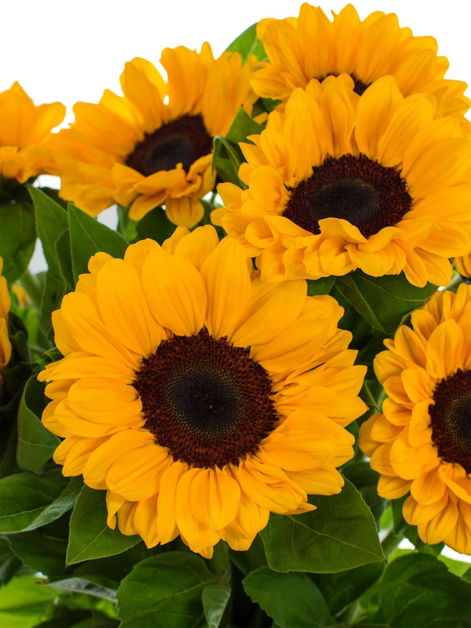 Sonnenblume | Heilpflanzenlexikon › gesund.co.at