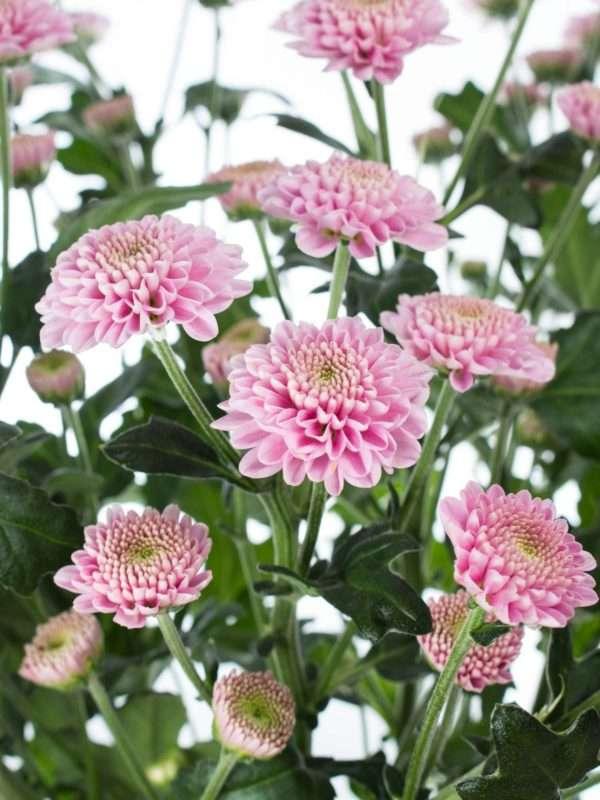 Chrysanthemen Santinis Ellison rosa pink
