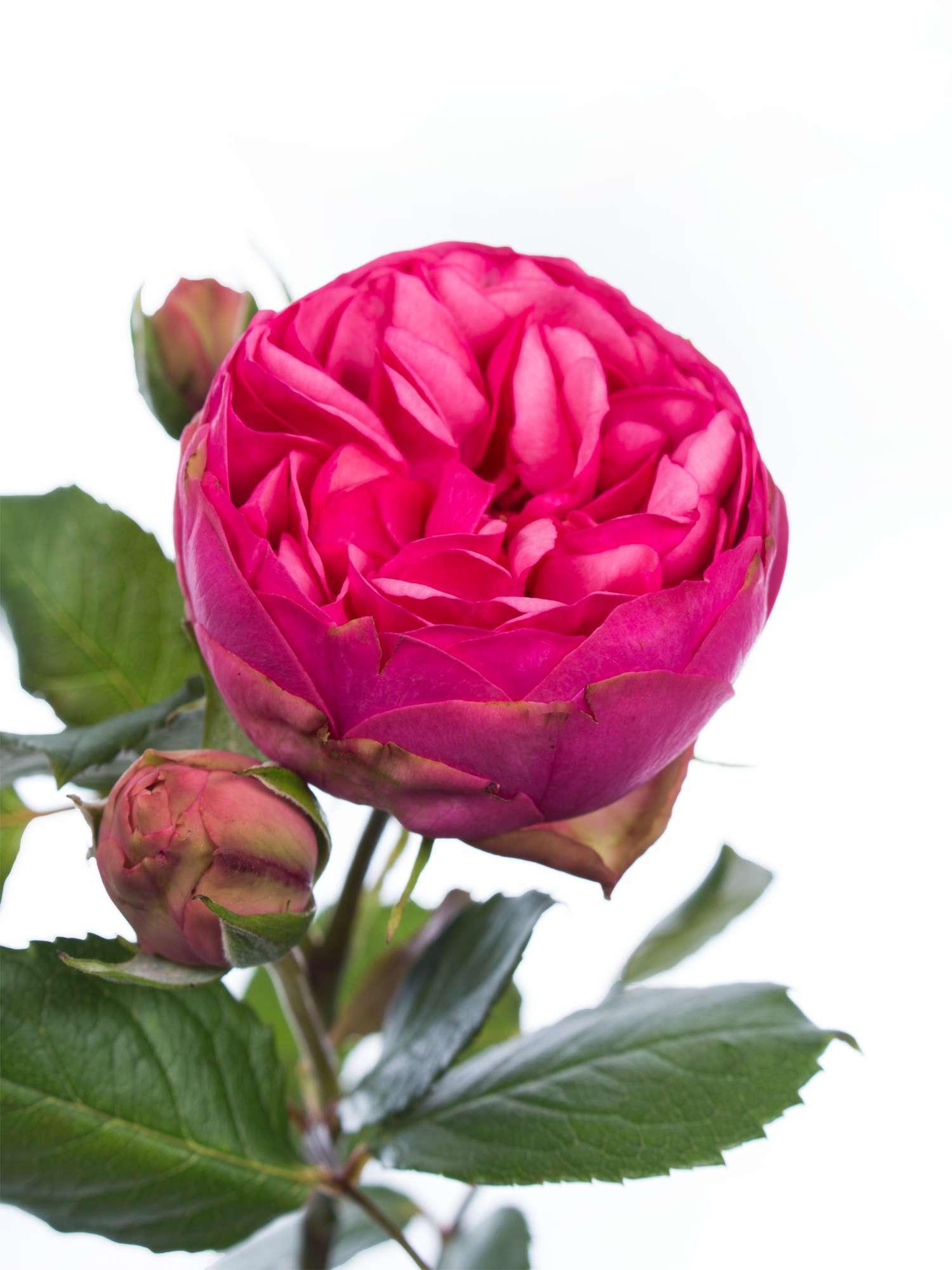 rosen freiland pink piano pink bestellen blumigo. Black Bedroom Furniture Sets. Home Design Ideas