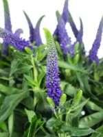 Blaue Blumen Welche Schnittblumen Bluhen Blau Blumigo
