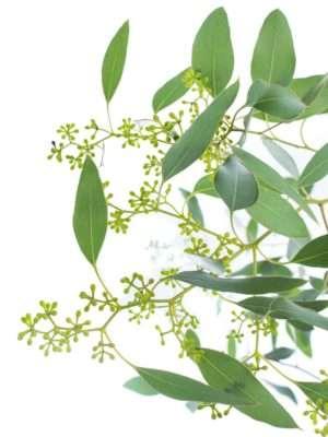 Eukalyptus Populus mit Beeren
