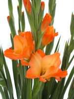 Gladiolen Royal Class orange