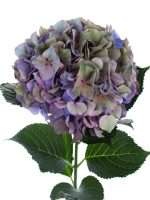 Hortensie Magical Glowing Alps Classic blau  lila gruen